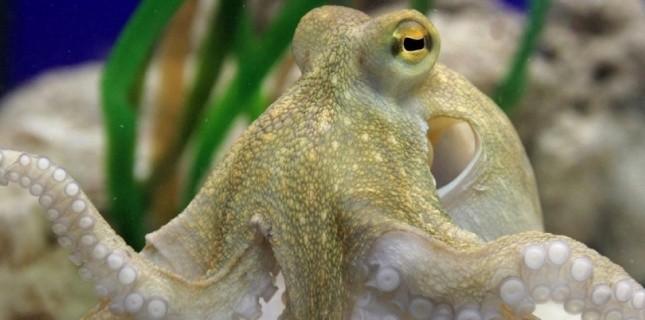 pieuvre ou poulpe